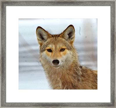 Cyote Framed Print by John Adams