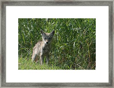 Cyote Pup Framed Print by Dave Clark