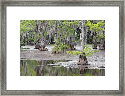 Cypress And Spanish Moss Of Caddo Lake State Park 4 Framed Print by Rob Greebon