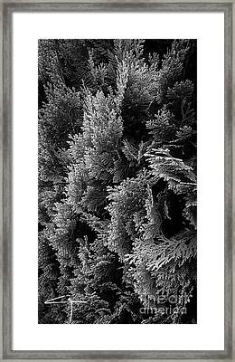 Cypress Branches No.1 Framed Print