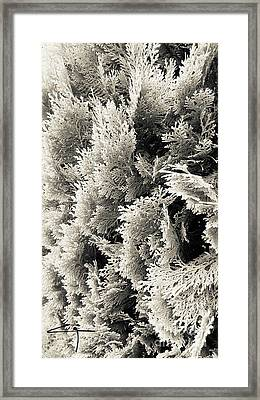 Cypress Branches No.2 Framed Print