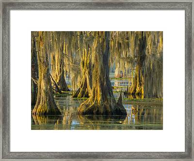 Cypress Canopy Uncovered Framed Print by Kimo Fernandez