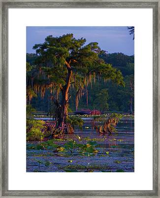 Cypress In The Sunset Framed Print by Kimo Fernandez