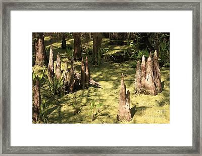 Cypress Knees In Green Swamp Framed Print by Carol Groenen