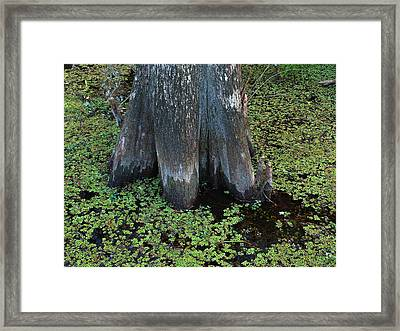 Cypress Tree Framed Print by Juergen Roth