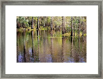 Cypress Trees Along The Hillsborough River Framed Print