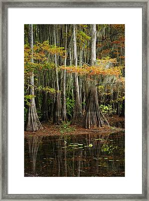 Cypress Trees Forest Framed Print by Iris Greenwell