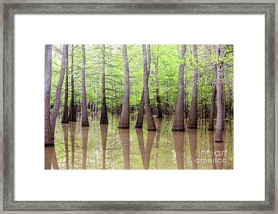Cypress - Tupelo Swamp North Louisiana Framed Print