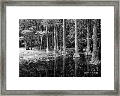 Cypresses In Tallahassee Black And White Framed Print by Carol Groenen