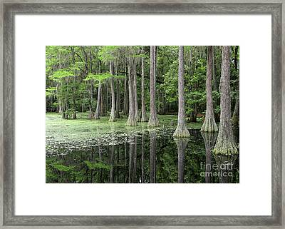 Cypresses In Tallahassee Framed Print by Carol Groenen