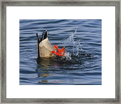 Dabbling - Mallard Framed Print by Tony Beck