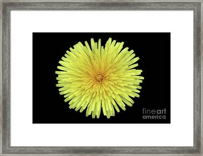 Dandelion Framed Print by Jim Beckwith
