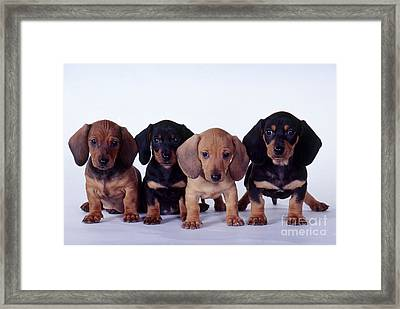 Dachshund Puppies  Framed Print