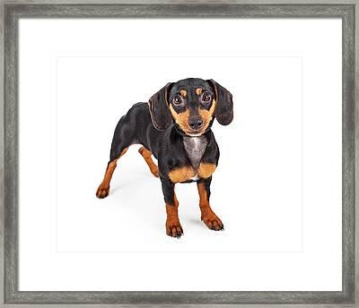 Dachshund Puppy Dog Standing Lookng Forward Framed Print