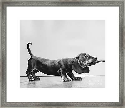 Dachsund Puppy Playing Framed Print by Ylla