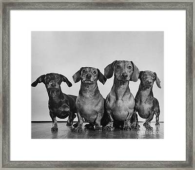 Dachsunds Framed Print by Ylla