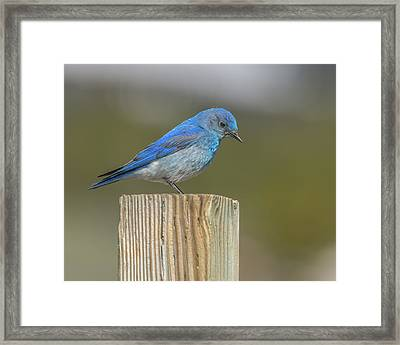 Daddy Bluebird Guarding Nest Framed Print