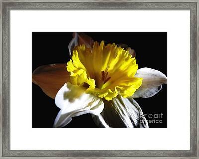 Daffodil 2 Framed Print by Rose Santuci-Sofranko
