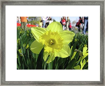 Daffodil Close Up Framed Print by Richard Mitchell