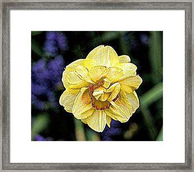 Framed Print featuring the photograph Daffodil Dallas Arboretum by Diana Mary Sharpton