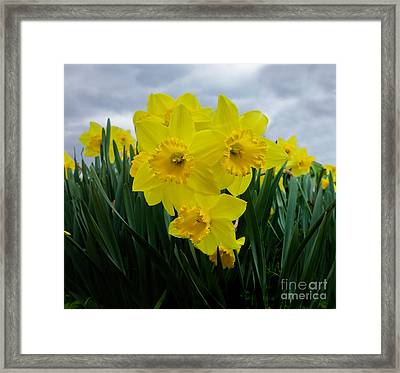 Daffodil Delight Framed Print