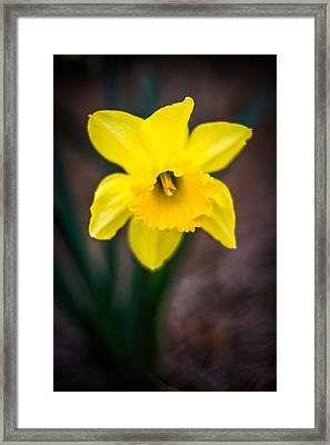 Daffodil Details Framed Print by Shelby Young