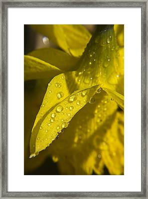 Daffodil Dew Framed Print by Teresa Mucha