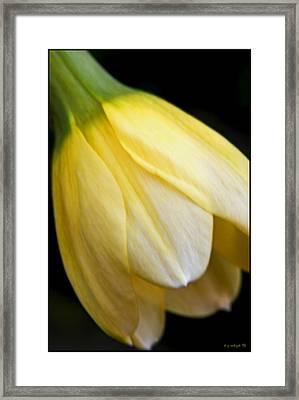 Daffodil Droop Framed Print by Daniel G Walczyk