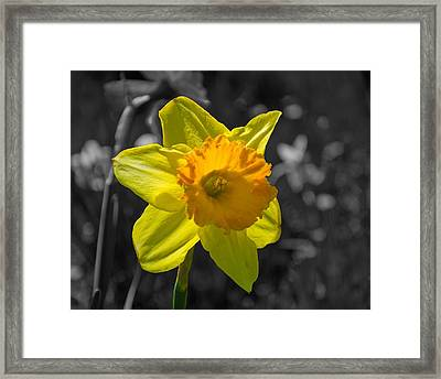 Daffodil Framed Print by Eric Harbaugh