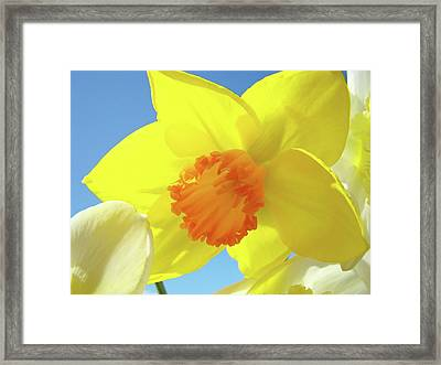 Daffodil Flowers Artwork 18 Spring Daffodils Art Prints Floral Artwork Framed Print by Baslee Troutman