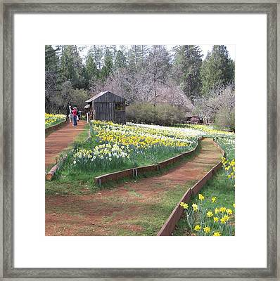 Daffodil Hill Pathway Framed Print