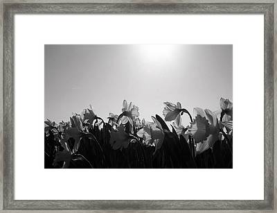 Daffodil Party Framed Print by Karla DeCamp