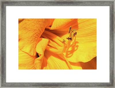 Daffodil - Peeping Tom 06 Framed Print
