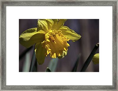Daffodil Framed Print by Phil Koch