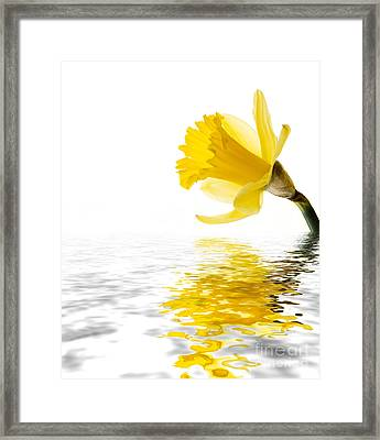 Daffodil Reflected Framed Print by Jane Rix