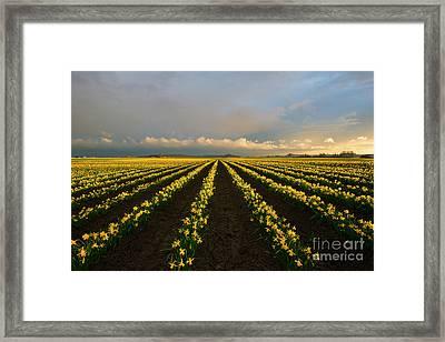 Daffodil Storm Framed Print