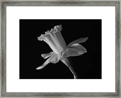 Daffodil Framed Print by Terence Davis