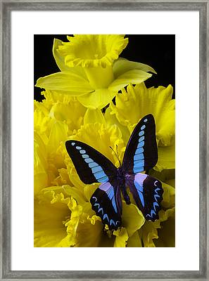 Daffodil With Blue Black Butterfly Framed Print by Garry Gay
