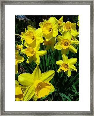 Daffodils 2010 Framed Print by Anna Villarreal Garbis