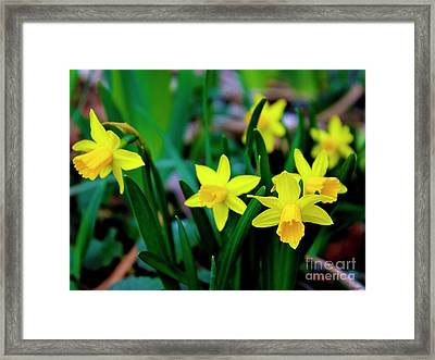 Daffodils A Symbol Of Spring Framed Print