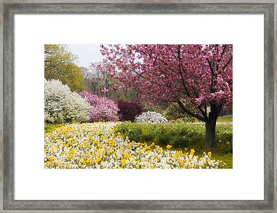 Daffodils And Crabtrees Framed Print