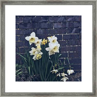 #daffodils #daffs #walls #dark #monday Framed Print
