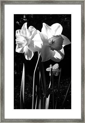 Daffodils In Sunlight Framed Print