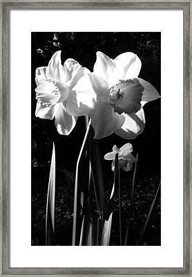 Daffodils In Sunlight Framed Print