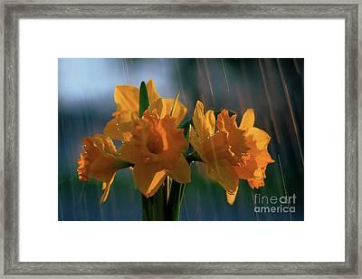 Daffodils In The Rain Framed Print by Terril Heilman