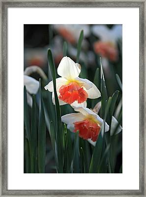 Daffodils Spring Is Here Framed Print by Pierre Leclerc Photography