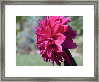 Dahlia 2016 1 Of 5 Framed Print by Tina M Wenger