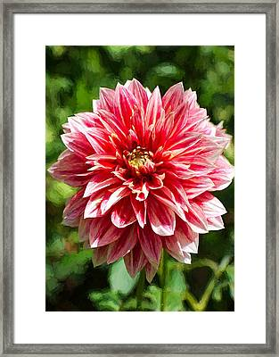 Dahlia 3 Framed Print