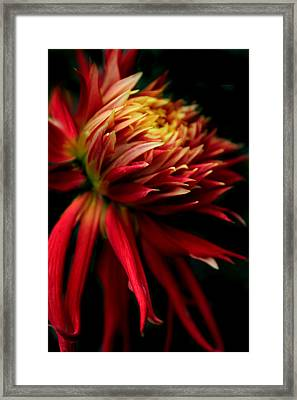 Dahlia Ablaze Framed Print by Jessica Jenney