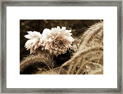 Dahlia After A Shower Framed Print